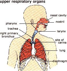 Upper Respiratory Organs